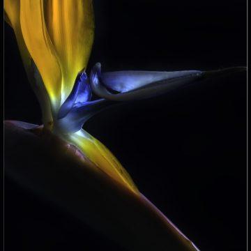 """Bird of Paradise by Barbara Brundage, Photography 6.5"""" x 8.5"""""""