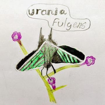 Urania Fulgens by Isabela Blevins Vargas, Age: 10; Golfito, Costa Rica
