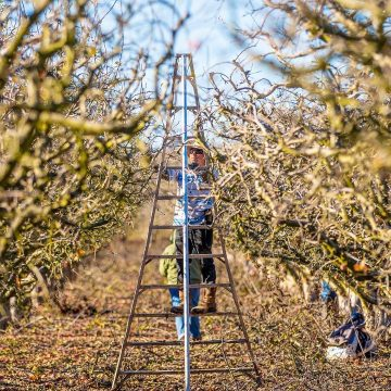 Apple Orchard Workers II by Carlos Campos, Photograph on Canvas