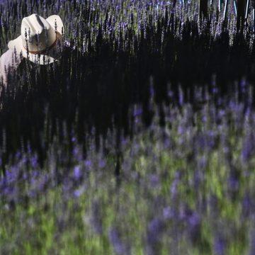 Lavender Harvest by Shmuel Thaler, Photo Metal Print