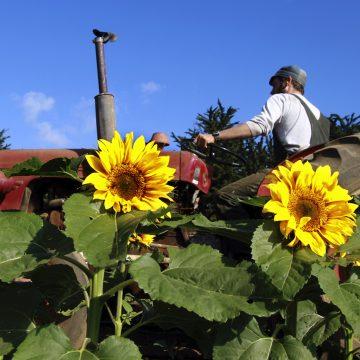 Sunflower Farmer by Shmuel Thaler, Photo Metal Print